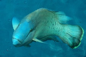 Humphead_Wrasse_photo_Taro_Taylor_Sydney