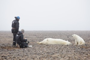 Magnus Anderson and Jon Aars observe a female polar bear and her cub waiting for the tranquilliser to have its full effect so that they can start work taking samples from the bear safely.